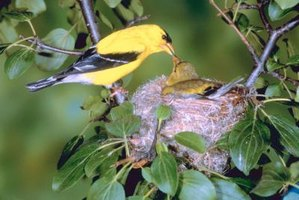 Goldfinches are common throughout the U.S.