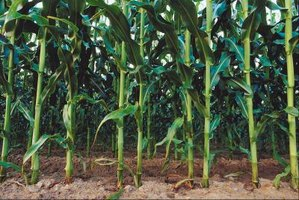 How to Eliminate Weeds from a Sweet Corn Patch