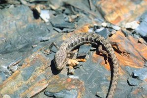 Alligator lizards are common along the Pacific coast.