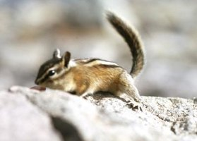Chipmunks are relatively inactive in winter, relying on cached food in their burrows.