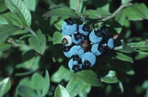 Healthy blueberry bush leaves are bright to medium green.
