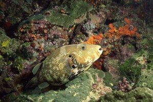 Different species of puffers come from salt, brackish and fresh water.