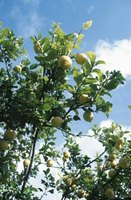 In warm climates the season for budding fruit trees such as citrus can extend into the fall.