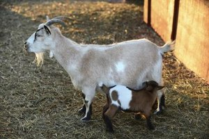 If your goat nurses her kids, she'll dry up naturally at weaning time.