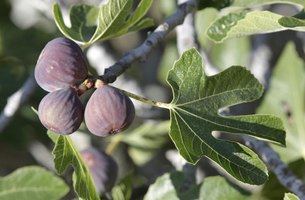 With large, palmate leaves, fig trees are decorative as well as fruitful.