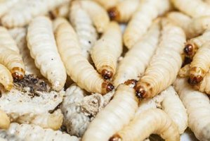 Root maggots are plump, pale and hungry.