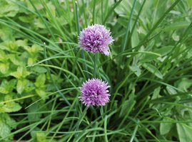 Chive flowers add color to the herb garden.
