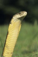 The king cobra is one of the world's most feared snakes.