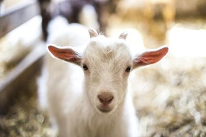 Baby white goat in pen