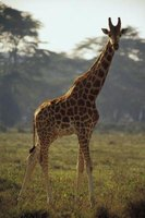 Giraffes are easily made out of clay.