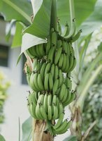 A banana tree adds a touch of the tropics to the garden.