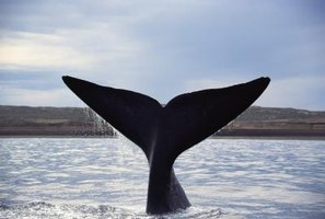 The tail fins of a whale look like a pair of bird's wings.