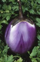 There are many varieties of eggplant and all are at risk for pest attacks.