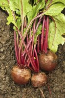 You can eat turnip roots and greens, and there are different types to choose from.