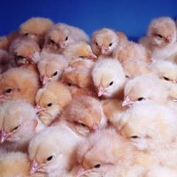 Young chicks don't have feathered covering or body mass to withstand winter cold.