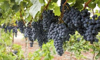 Black rot commonly infects half-grown grapes.