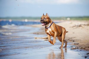 Pitbull dog running down beach