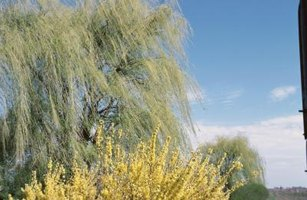 How to Prune Willow Trees