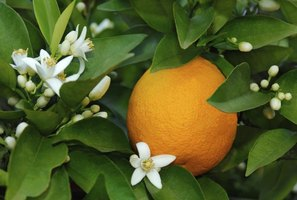 Orange trees often bear ripe fruits and flowers together.