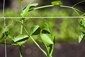 A string trellis's supports are easier for tiny tendrils to grasp.