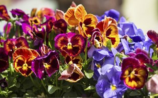Hardy pansies are most often planted in autumn.