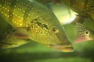 Fish have small holes that function similarly to nostrils.