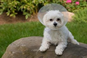 Small dog with surgical cone around neck.