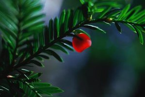 Yew berries consist of a seed surrounded by a fleshy red aril.