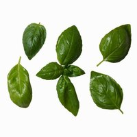 Basil needs about six to eight hours of sunlight a day during the growing season.