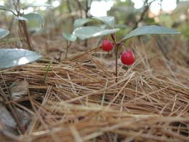 Native wintergreen rises through pine needles on the woodland floor.
