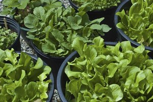 Use the thinnings from your lettuce containers for super-tender salads.