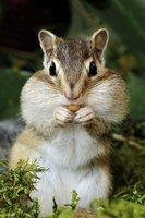 Use makeup to create the chipmunk nose and whiskers.