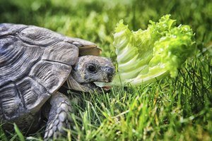 Always select your new pet turtle wisely -- many species live longer than 50 years.