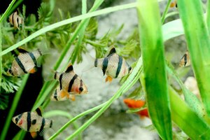 A group of tiger barbs in an aquarium.