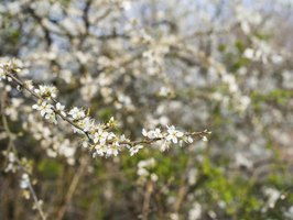 Serviceberry blossoms are small and white.