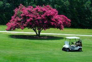 Crape myrtles have bloom times up to 120 days.