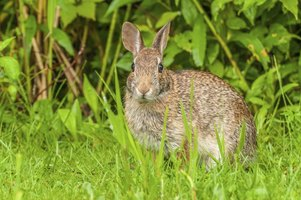 Cottontail rabbits prefer areas that have plenty of plant cover.