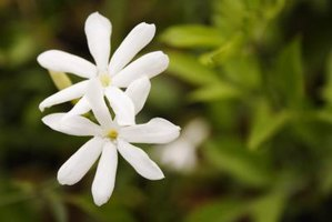 How to Grow Jasmine Vine in Zone 7