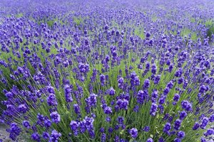 Lavender provides a calming scent often used in candles and body lotions.