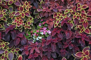 Like these other coleus typically grown as annuals, Kong cultivars are perennial in U.S. Department of Agriculture plant hardiness zones 10 through 11.