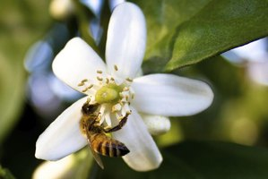 Honeybees gather citrus nectar from where it collects at the flower's base.