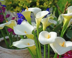 Calla lilies lend a touch of elegance to any landscape.