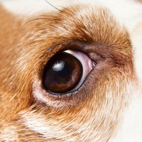 Check your dog's eyes regularly for signs of discoloration, bumps and other abnormal growth.