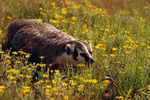 Badgers live in or near wooded areas.