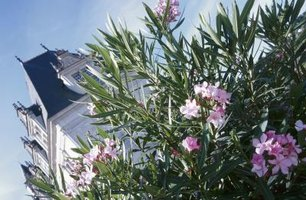 Oleander can grow fast -- 2 feet or more per year.