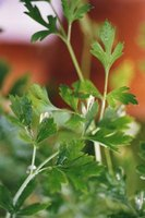 Parsley is a nutrient-rich plant used as garnish and for decorative edible landscaping.