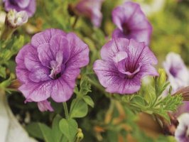 Starting petunias from seed expands your choice of colors and types.