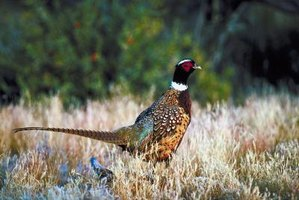 A popular game bird, wild pheasant is hunted in all 50 United States.