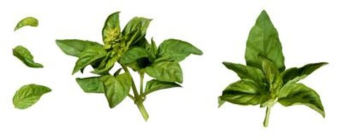 Fresh basil leaves and flowers give the best flavor to foods.