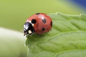 Of the 350,000 beetle species, many eat plant pests.
